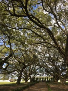 Live oak trees lining the drive, looking away from the manor house. Row of cedar trees at the end.